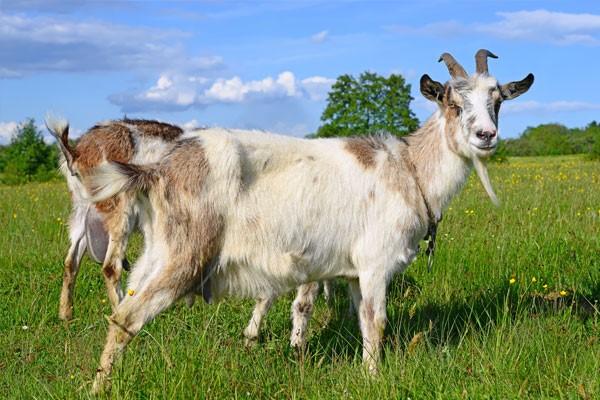 bon environnement terre lait chèvre