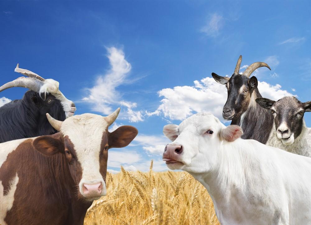 lait vache mouton brebis chèvre